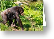 Chimpanzee Greeting Cards - Mother and Child Greeting Card by Gert Lavsen