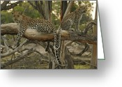 Resting Animals Greeting Cards - Mother And Daughter Leopards Touch Greeting Card by Beverly Joubert