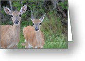 Florida Key Deer Greeting Cards - Mother and Young Key Deer Greeting Card by Carol McGunagle
