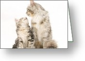 Coon Greeting Cards - Mother Cat With Her Kitten Greeting Card by Jane Burton
