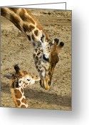 Kissing Greeting Cards - Mother giraffe with her baby Greeting Card by Garry Gay