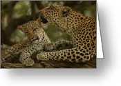 Leopards Greeting Cards - Mother leopard, Panthera Greeting Card by National Geographic