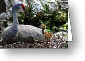 Sandhill Crane Greeting Cards - Mother listening Greeting Card by Barbara Bowen