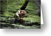 Motherly Greeting Cards - Motherly Advice - Mallard Greeting Card by James Ahn