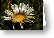 Thistle Greeting Cards - Mountain Beauty Greeting Card by Dagmar Ceki