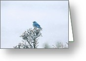  Bluebird Greeting Cards - Mountain Bluebird In Snow Greeting Card by Pat Gaines