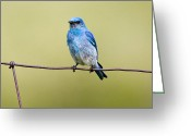 Bison Range Greeting Cards - Mountain Bluebird on a wire Greeting Card by Merle Ann Loman