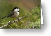 Woodlands Greeting Cards - Mountain Chickadee Greeting Card by Reflective Moments  Photography and Digital Art Images