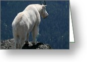 Olympic National Park Greeting Cards - Mountain goat 2 Greeting Card by Sean Griffin
