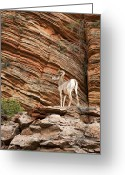 Bighorn Greeting Cards - Mountain goat Greeting Card by Jane Rix