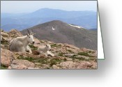 Rocky Mountains Greeting Cards - Mountain Goat Mother And Kid In Mountain Home Greeting Card by Max Allen