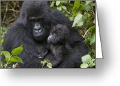 Primates Greeting Cards - Mountain Gorilla And Baby Rwanda Greeting Card by Suzi Eszterhas