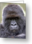 1-up Greeting Cards - Mountain Gorilla Male Greeting Card by Tony Camacho