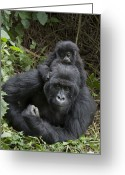 African Animals Greeting Cards - Mountain Gorilla Mother And 1.5yr Old Greeting Card by Suzi Eszterhas