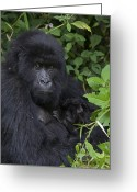 African Animals Greeting Cards - Mountain Gorilla Mother And Infant Parc Greeting Card by Suzi Eszterhas