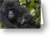 African Animals Greeting Cards - Mountain Gorilla Mother Holding 3 Month Greeting Card by Suzi Eszterhas
