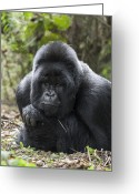 Ape. Great Ape Greeting Cards - Mountain Gorilla Silverback Resting Greeting Card by Suzi Eszterhas