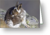 Hare Greeting Cards - Mountain Hare Moulting Greeting Card by Duncan Shaw