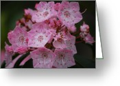 Mountain Laurel Greeting Cards - Mountain Laurel Bloom Greeting Card by Randy Bodkins
