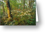 Mountain Laurel Greeting Cards - Mountain Laurel Blooming In A Hyner Greeting Card by Skip Brown
