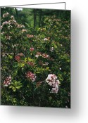 Mountain Laurel Greeting Cards - Mountain Laurel Blossoms In A Southern Greeting Card by Raymond Gehman