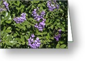 Mountain Laurel Greeting Cards - Mountain Laurel Flowers Greeting Card by Linda Phelps