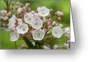 Mountain Laurel Greeting Cards - Mountain Laurel Greeting Card by Henri Irizarri