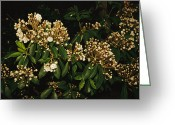 Mountain Laurel Greeting Cards - Mountain Laurel In Bloom In Early Greeting Card by Raymond Gehman