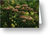 Mountain Laurel Greeting Cards - Mountain Laurel With Buds Ready Greeting Card by Raymond Gehman