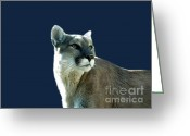 Colorado Mountain Prints Greeting Cards - Mountain Lion Beauty Greeting Card by Donna Parlow