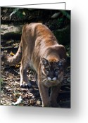 Intent Greeting Cards - Mountain Lion Greeting Card by Douglas Barnett