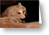 Whiskers Photo Greeting Cards - Mountain Lion In Cave Licking Paw Greeting Card by Max Allen