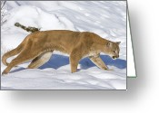 Puma Greeting Cards - Mountain Lion Puma Concolor Hunting Greeting Card by Matthias Breiter
