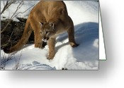 Carnivores Greeting Cards - Mountain Lion Puma Concolor Greeting Card by Matthias Breiter