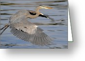 Blue Heron Photo Greeting Cards - Moving Forward Greeting Card by Fraida Gutovich
