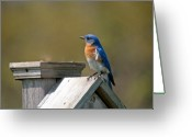 Wild-life Greeting Cards - Mr blue bird Greeting Card by Robert Pearson