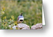 Quail Greeting Cards - Mr. Gambel Greeting Card by Scott Pellegrin