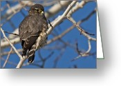 Merlin Greeting Cards - Mr. Merlin... Greeting Card by Nina Stavlund
