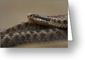 Snake Scales Greeting Cards - Mrs. Angry Greeting Card by Andy Astbury