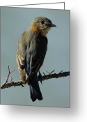 Business Decor Greeting Cards - Mrs. Bluebird Greeting Card by Robert Frederick