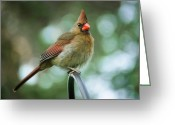 Cardinal Greeting Cards - Mrs. C Greeting Card by DigiArt Diaries by Vicky Browning