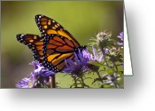 Monarchs Greeting Cards - Ms. Monarch Greeting Card by Ross Powell