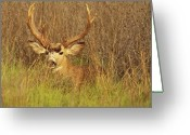 Winter Sleep Greeting Cards - Mule Deer Buck Hiding In Tall Grass Greeting Card by Max Allen