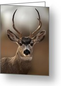 Brown Hair Greeting Cards - Mule Deer Buck Greeting Card by Karen Slagle