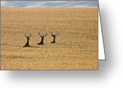 Rut Greeting Cards - Mule Deer in Wheat Field Greeting Card by Mark Duffy