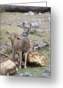 Lichen Greeting Cards - Mule Deer Odocoileus Hemionus Buck Greeting Card by Rich Reid
