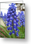 Grape Macro Digital Art Greeting Cards - Muscari or Grape Hyacinth Greeting Card by J McCombie