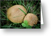 Food Source Greeting Cards - Mushroom Pair Greeting Card by Teresa Mucha