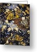Shellfish Greeting Cards - Mussels and barnacles at low tide Greeting Card by Elena Elisseeva