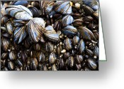 Shellfish Greeting Cards - Mussels Greeting Card by Justin Albrecht